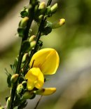 Colourful Gorse