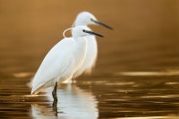 2 Little Egrets by Phil Mclean