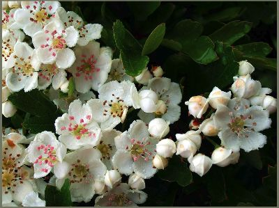 Apple bloss copy