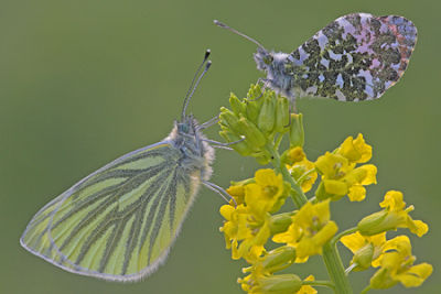 Green Veined White and Orange Tip