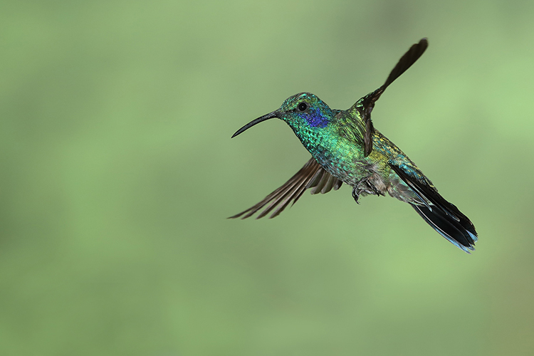 Green Violeteared Hummingbird by Alan Yeomans