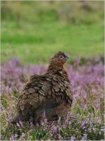 Grouse by Molly Hodges