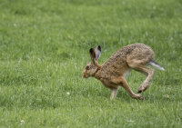 Mad March Hare by Anne Yeomans
