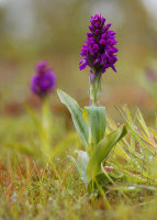 Orchid in the Dew by Fiona Gourlay