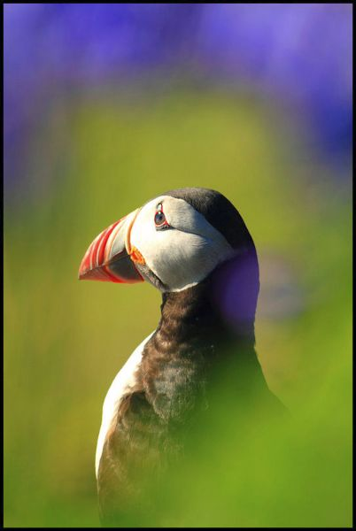 Puffin through the bluebells
