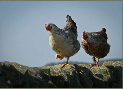 The hens march