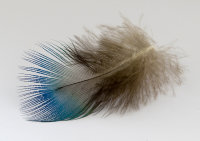 Theme 3: Forms in Nature - A Peacock Feather by Anne Yeomans