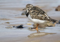 Turnstone by Anne Yeomans
