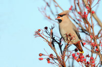 Waxwing on Rowan by Alan Yeomans