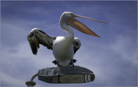 Pelican on a lampost