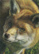 Curious Fox - £425 - pastel on velour