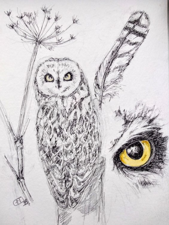 Sketches in pen of short eared owl