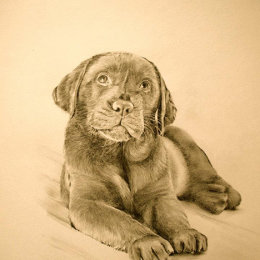 Chocolate Lab, Pencil on board ( private commission )