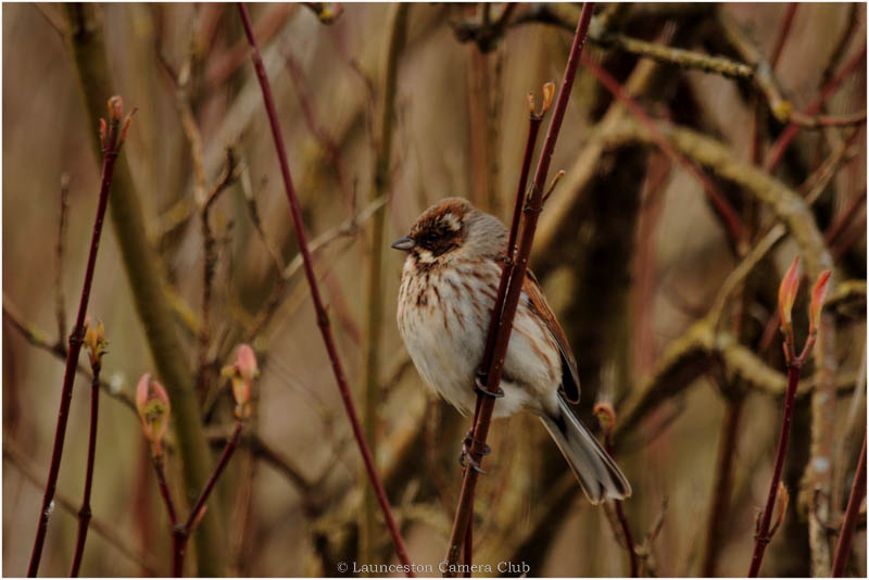 01 Female Reed Bunting Di Northey