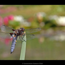 02 Broad Bodied Chaser and Water Lillies Adrian Davey 1st Place