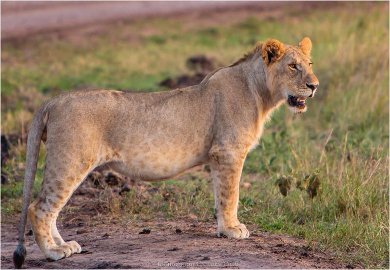 03 Hugh Letheren Masai Mara Young Lion