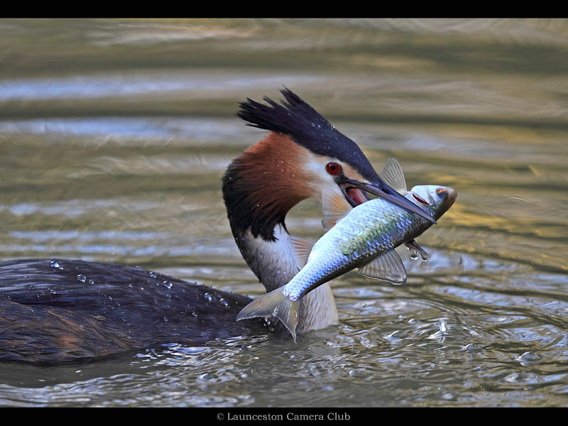 04 D3-Great Crested Grebe with catch-Adrian Davey-Launceston CC Highly Commended