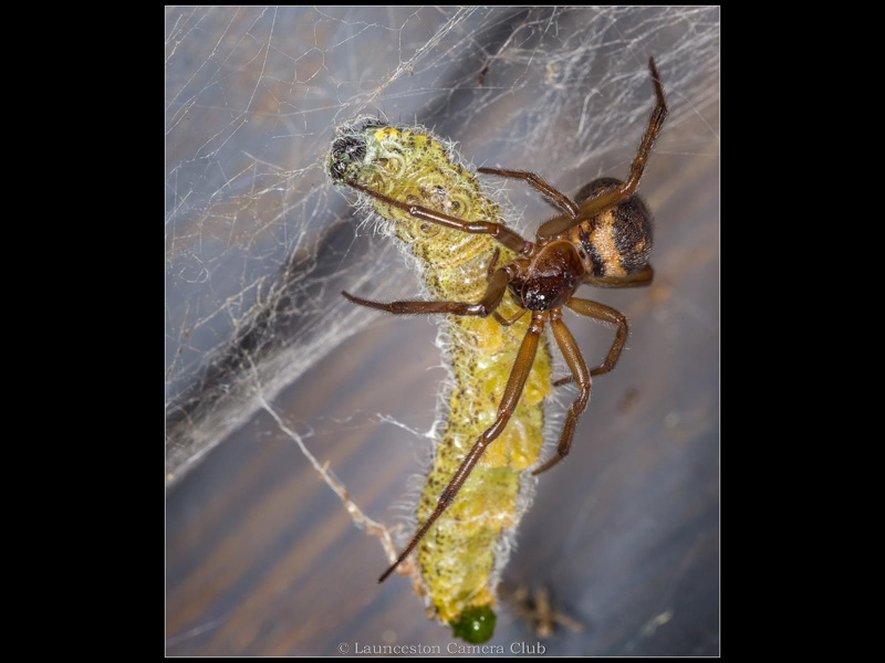 04 Geoff Trevarthen Female Noble False Widow with prey Commended