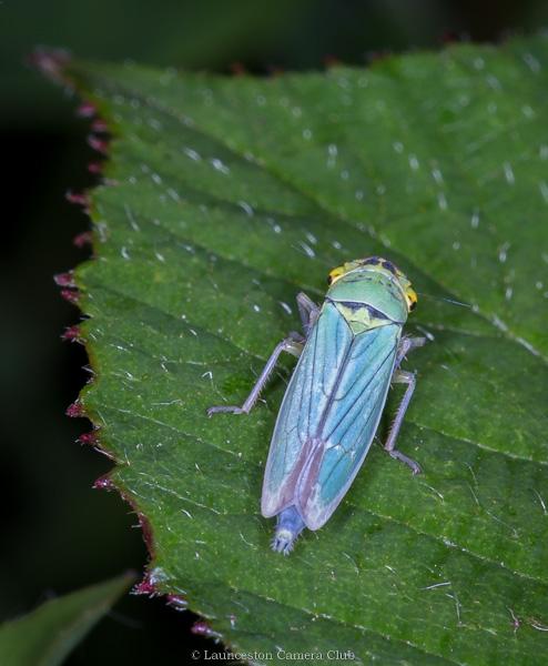 05 Geoff Trevarthen Green Leaf hopper (Chrysoperla carnea) - (Colour Print)
