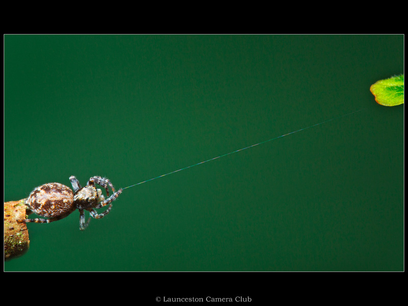 06 Chris Robbins Jumping Spider Pseudeuophrys lanigera