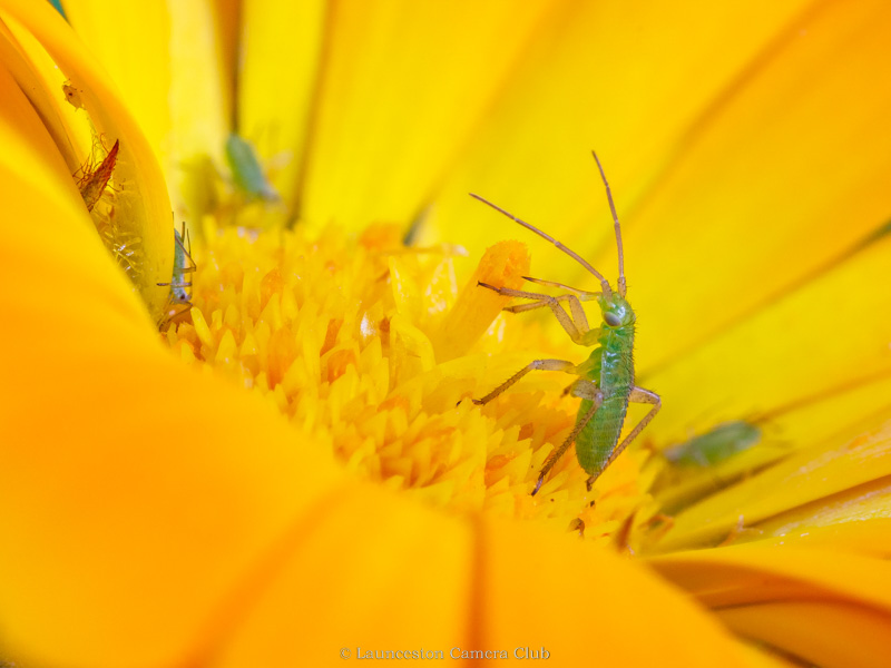 09 Hilary Phillips Common Green Capsid Bug Nymph Feeding 2nd Place