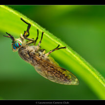 10 Chris Robbins Notch-horned Cleg-fly Highly Commended