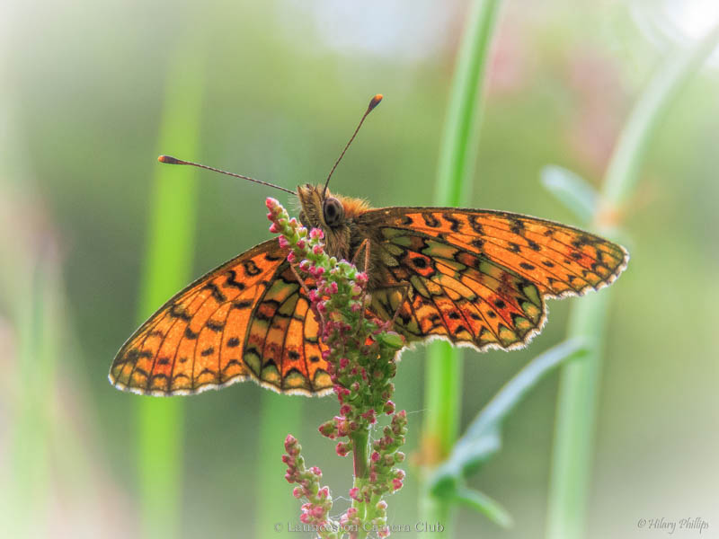 10 Hilary Phillips Small Pearl-bordered Fritillary First Place