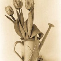 11 Hilary Phillips Tulips