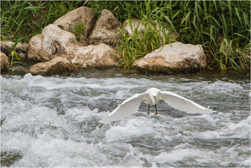 11 Hugh Letheren Little Egret on River Stour