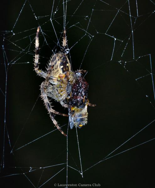 12 Geoff Trevarthen Garden Cross Spider with prey (Colour Print) 3rd Place