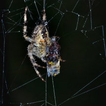 12 Geoff Trevarthen Garden Cross Spider with prey (Colour Print) 3rd Place