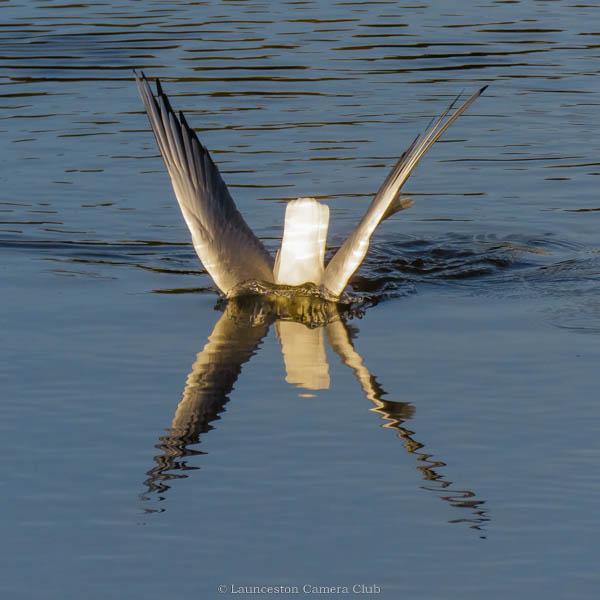 15 Gull Diving Hilary Phillips
