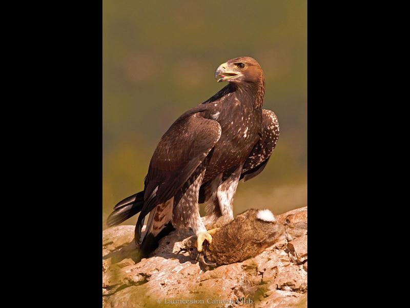 21 Adrian Davey Golden Eagle (wild) 1st Place