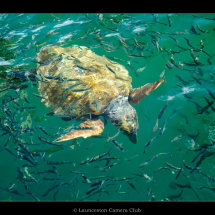 24 Chris Robbins Loggerhead Turtle in a shoal of fish Commended