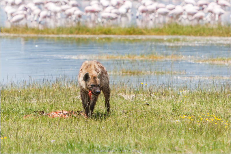 39 Hugh Letheren Spotted Hyena eating Pink Flamingo Lake Nakuru Highly Commended