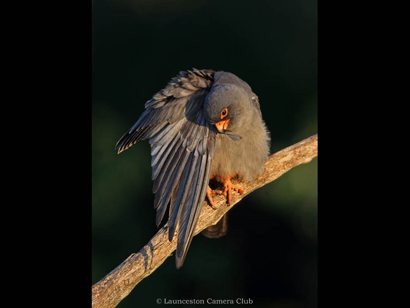 D08-Male Red Footed Falcon preening(W)-Adrian Davey-Launceston CC