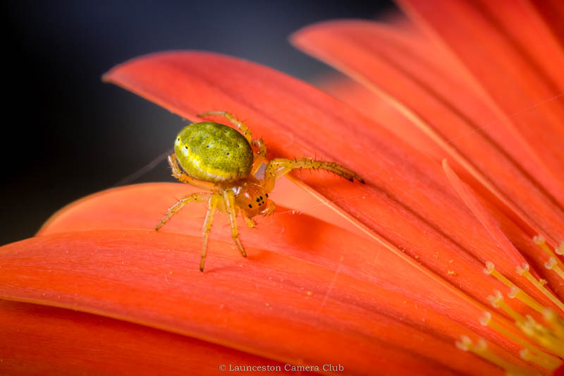 D14-Green Orb-Weaver Spider(W)- Hilary Philips-Launceston CC