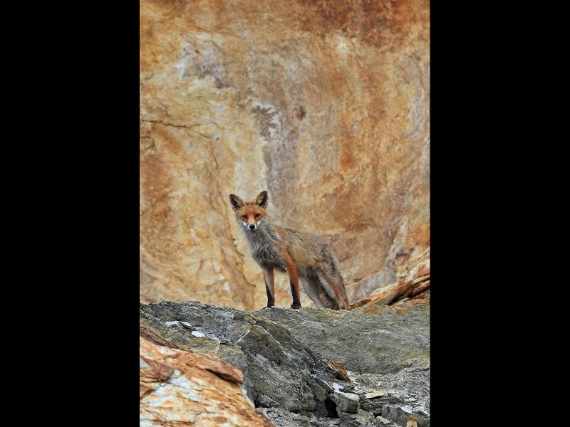 Fox on the Rocks  Adrian Davey