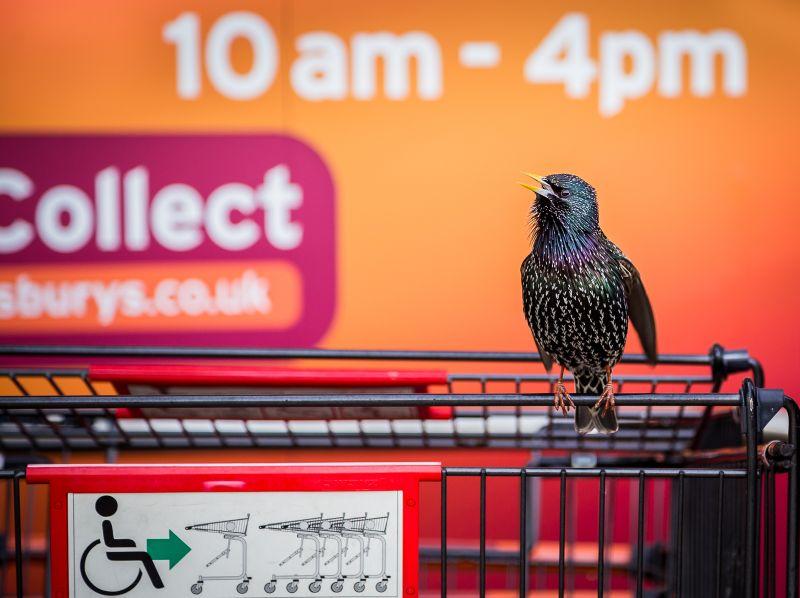 Geoff Trevarthen The Supermarket Starling