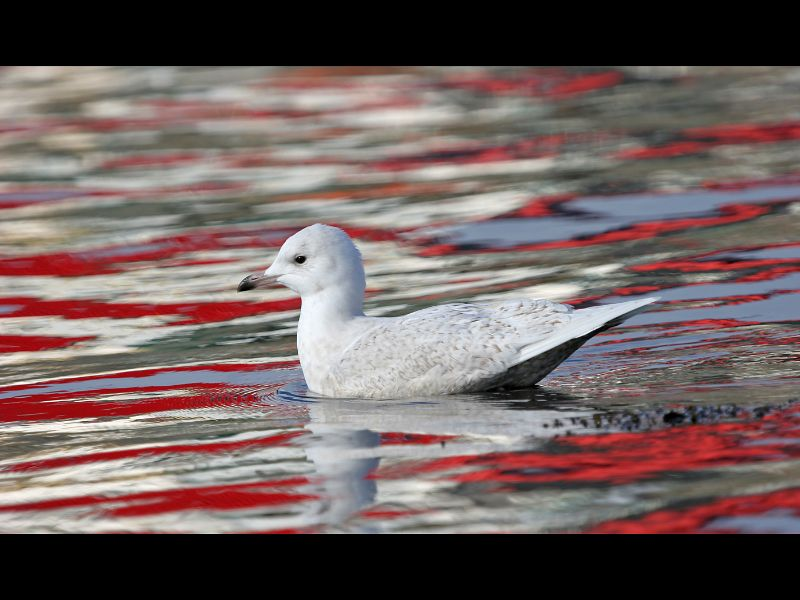 Iceland Gull in Red reflection Adrian Davey