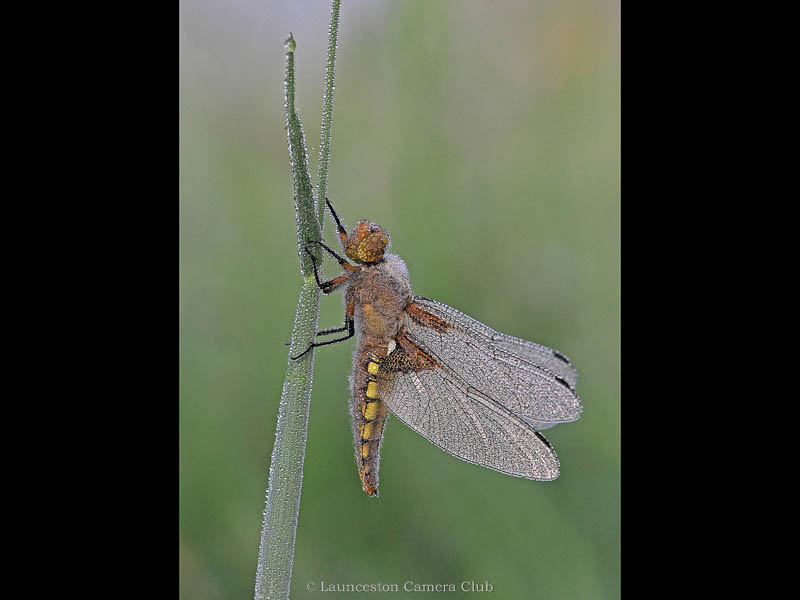 P085-Broad Bodied Chaser with dew(W)-Adrian Davey-Launceston CC