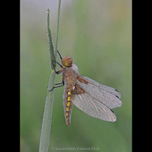 P085-Broad Bodied Chaser with dew(W)-Adrian Davey-Launceston CC
