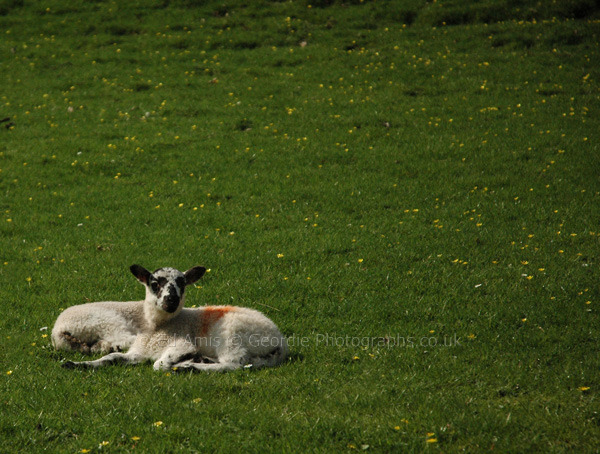 Atomic Lamb