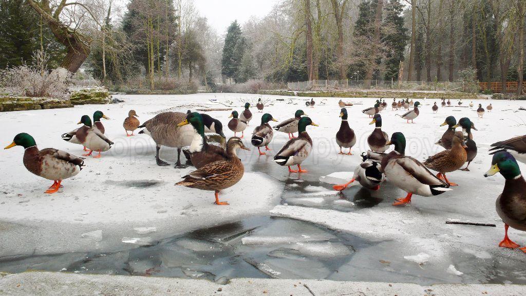 Ducks Christchurch Park