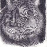 Eiko Matsuura Drawing Tiger Joao Graphite on papaer 2020 29.7 x 21.0 cm