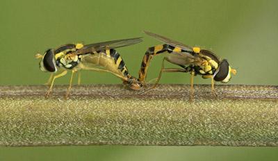 Mating Hoverflies...
