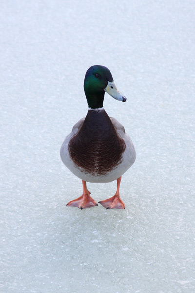 Duck on Ice...