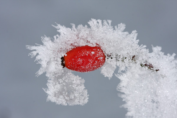 Frosty Berry...