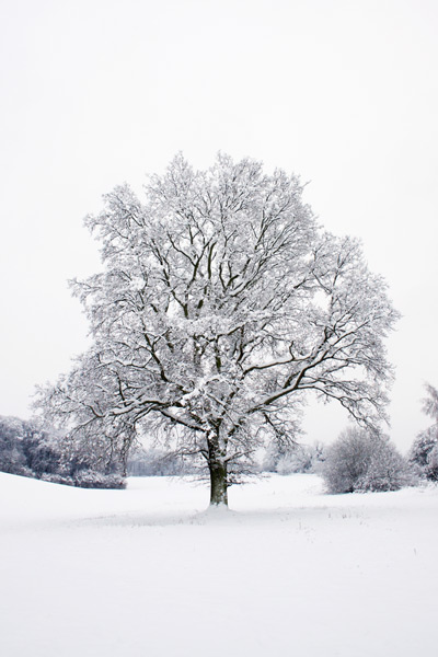 Tree in Snow...
