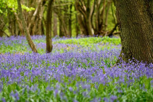 Bluebell Wood....